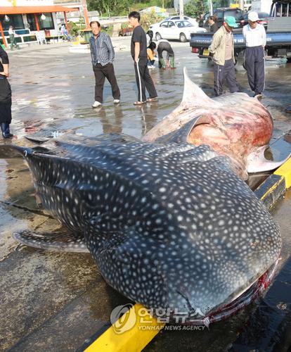 강원도에서 고래 상어가 잡혔다는 기사의 의미