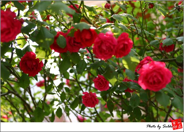 장미꽃들..