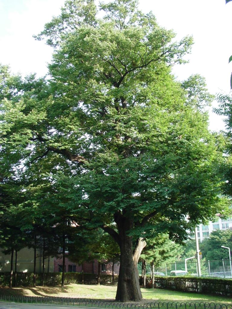 일원동 느티나무 사진