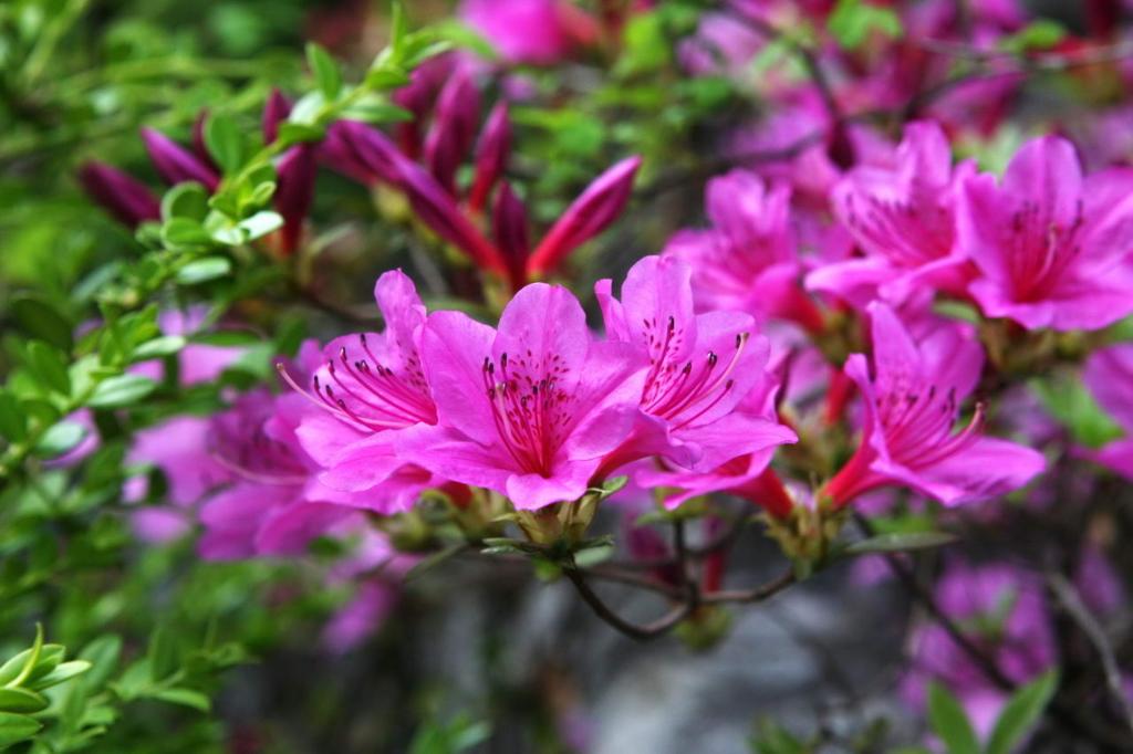 철쭉 - 진달래, 영산홍, 자산홍 Rhododendron schlippenbachii