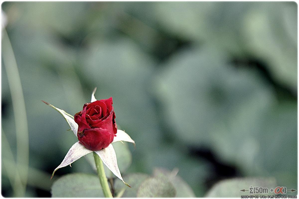 타오르는 장미